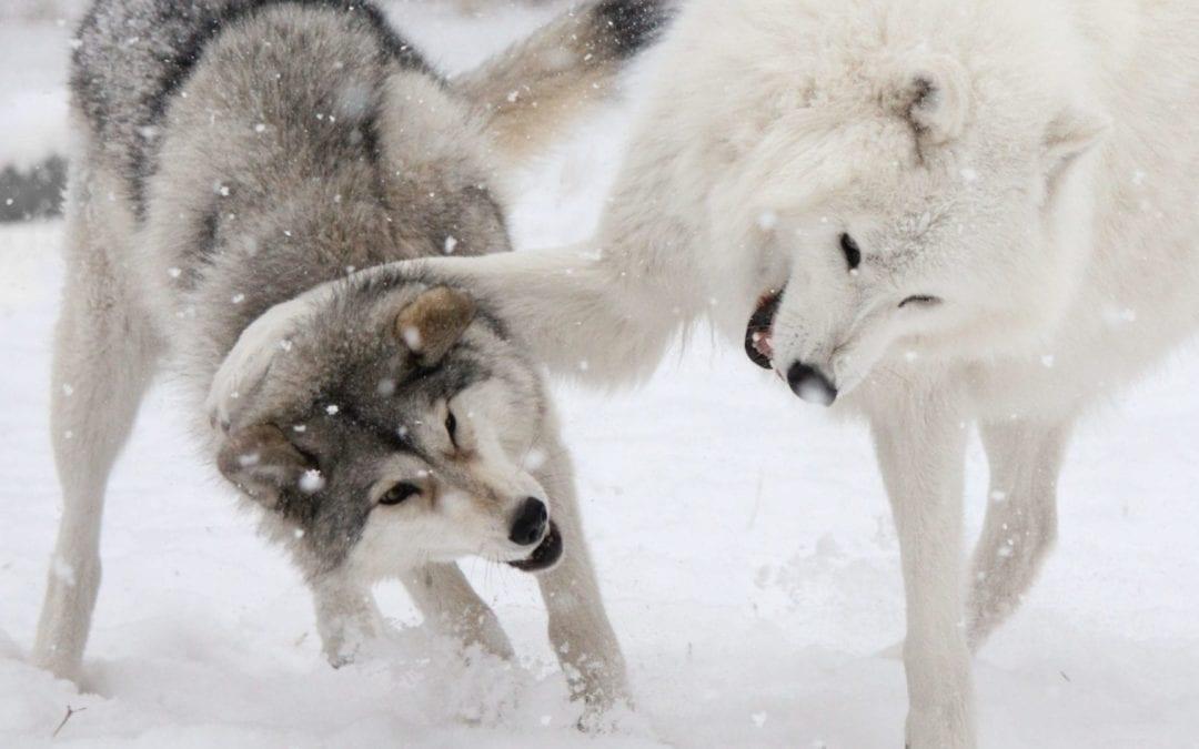 Yamnuska wolfdogs